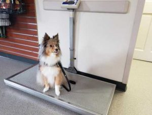 dog sitting on scale at vet office